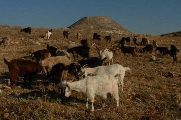 Goats graze peacefully in Sde Bar with Herodian in the background